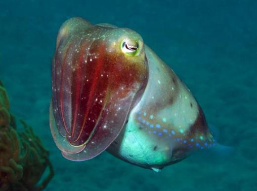 deep_sea_cuttlefish%5B1%5D.JPG